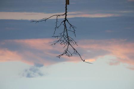 Albero di Giuda dai rami spogli al tramonto, immagine rovesciata verticalmente