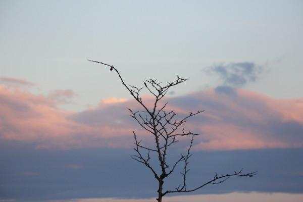 rami spogli di giovane albero, neri, sottili e articolati su sfondo di cielo al tramonto rosa e azzurro chiaro