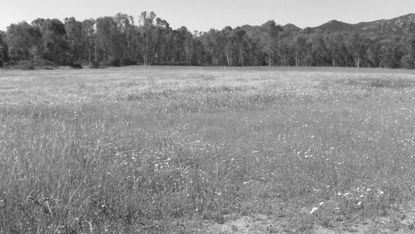 immagini in bianco e nero di area erbosa contrnata da eucaliptus sullo sfondo, riflessa orizzontalmente