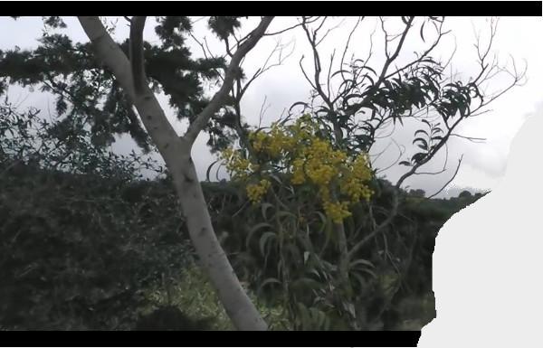 rami di conifera e mimosa in fiore fanno ritagli nel cielo, immagine con bande nere cinema ritagliata a destra